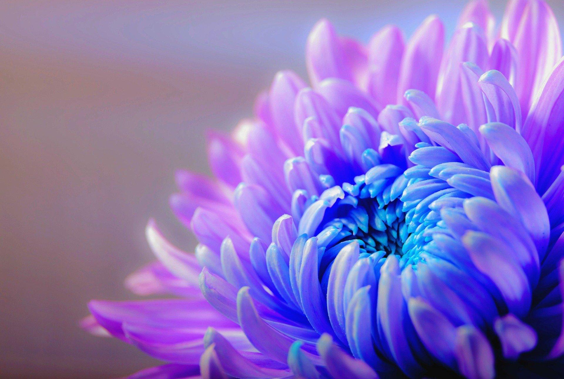 chrysanthemum-1332994_1920 (1)