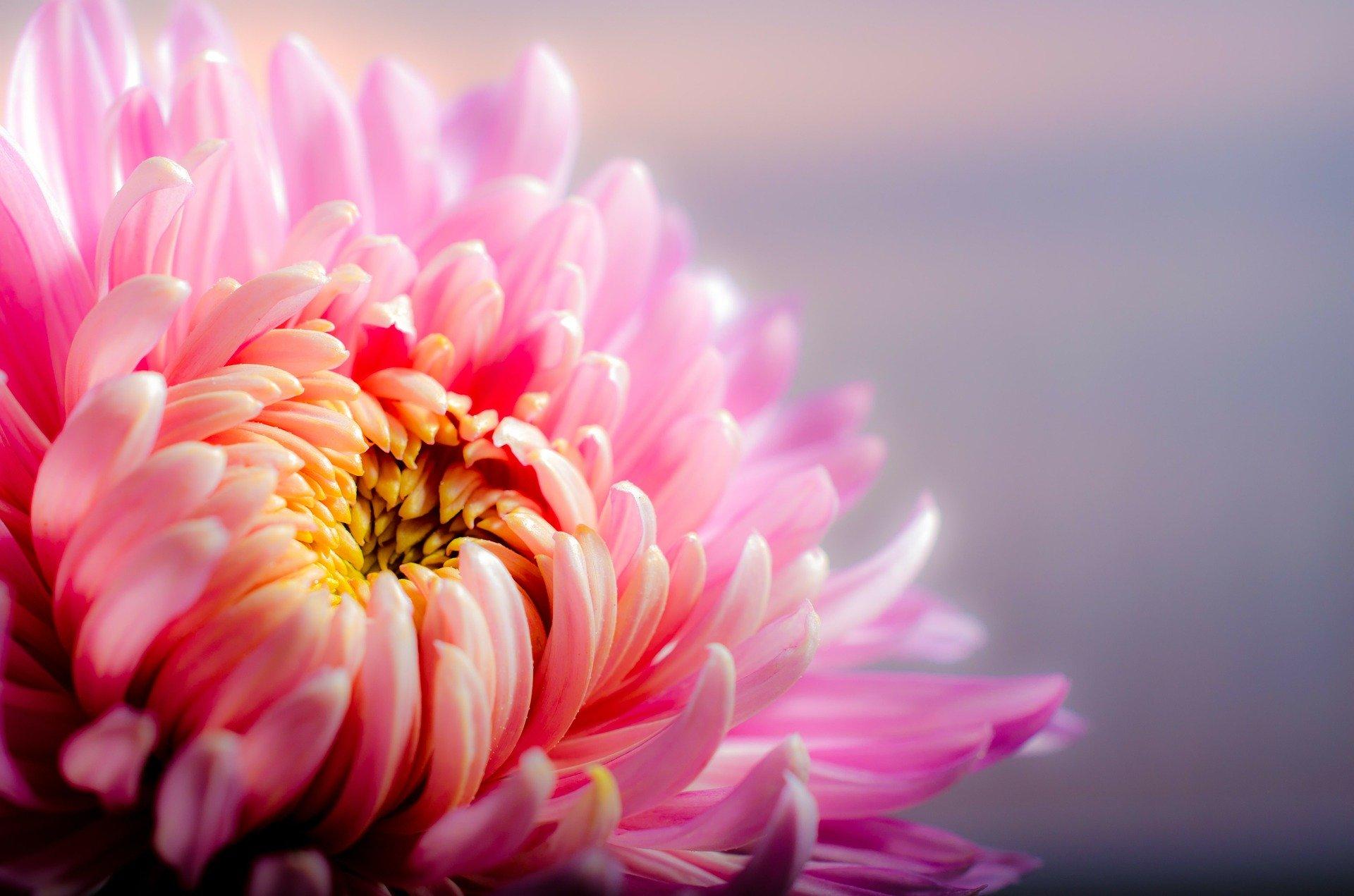 chrysanthemum-202483_1920 (1)