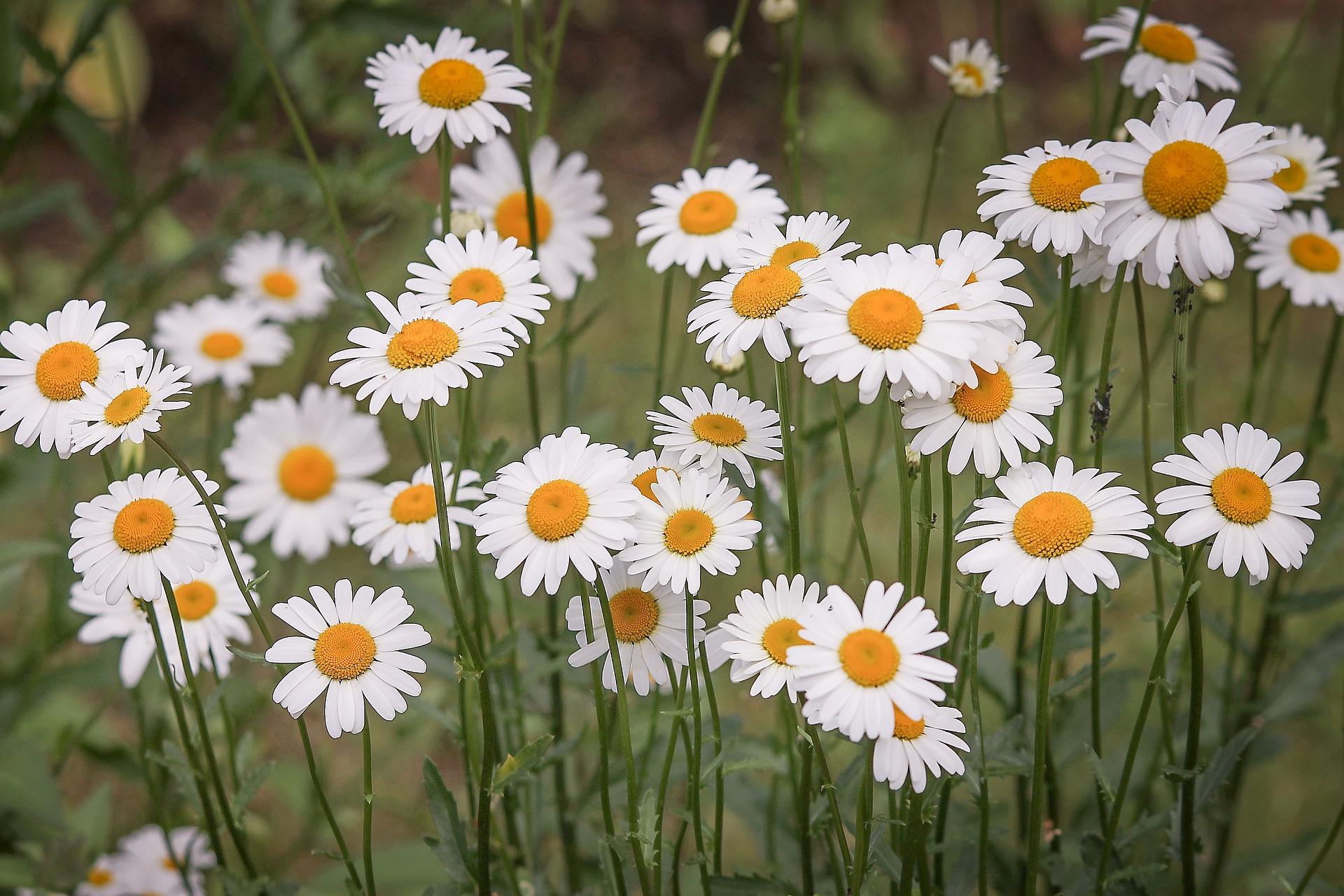 daisies-3439573_1920