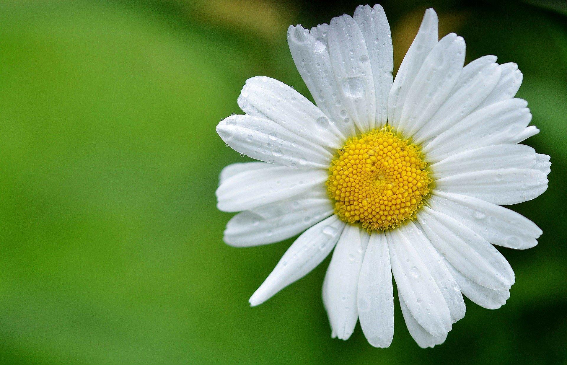daisy-144677_1920