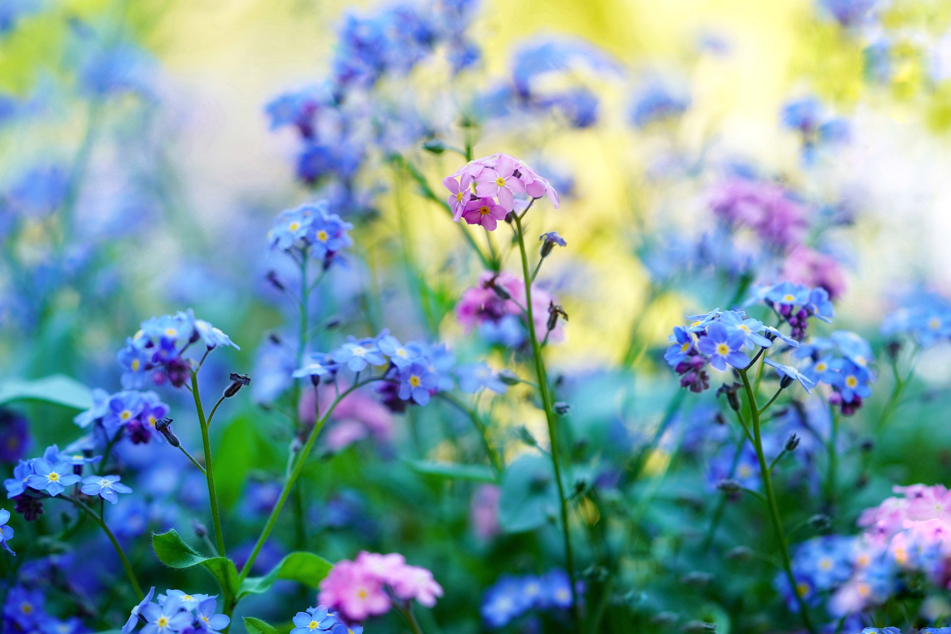 forget-me-not-5143015_1920