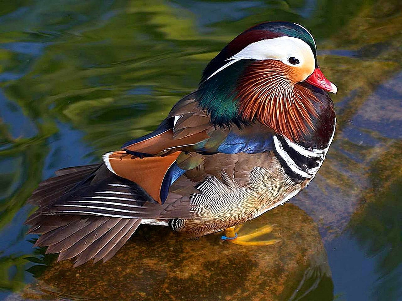 mandarin-duck-2011101_1280