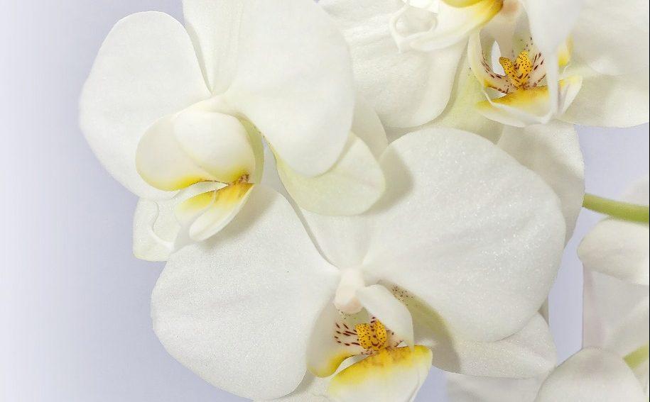 phalaenopsis-1486801_1280